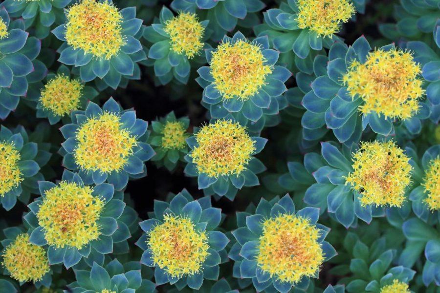 La Rhodiola rosea